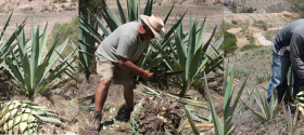 harvesting-maguey-900x300
