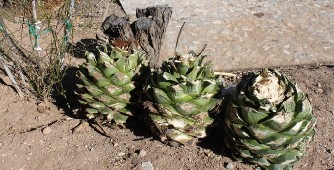 The First Three Espadin Agave from Rancho Buenaventura