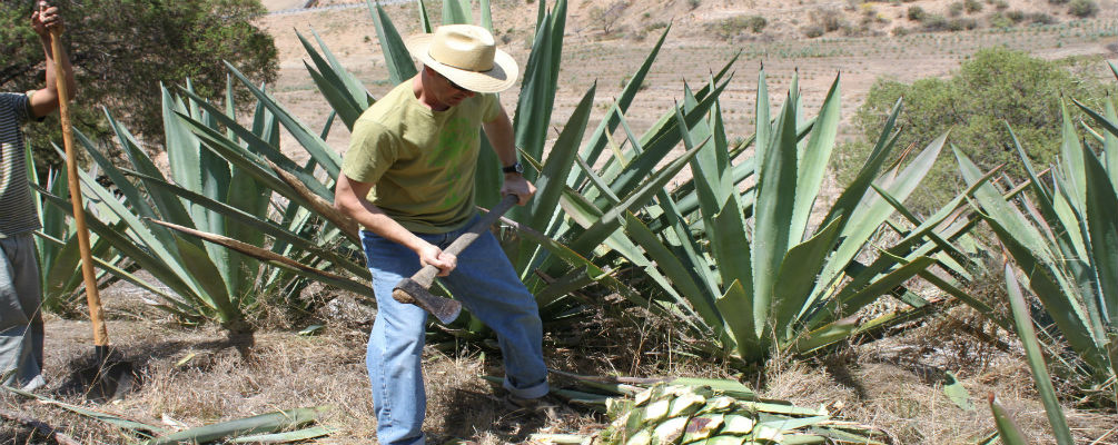 middlebrook-cutting-agave